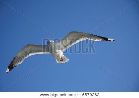 Möwe, fliegen in der Luft