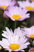 picture of feverfew  - the daisy in the garden - JPG