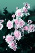 picture of feverfew  - the chrysanthemum    of the garden - JPG