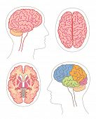 picture of temporal lobe  - Anatomy  - JPG