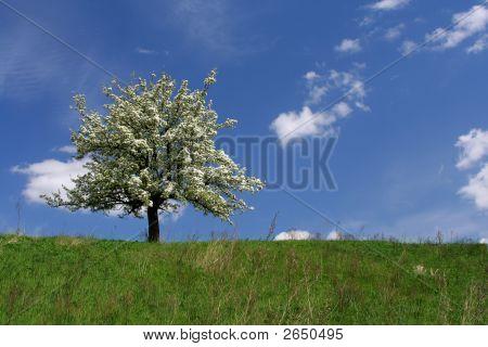 Flowering Tree.
