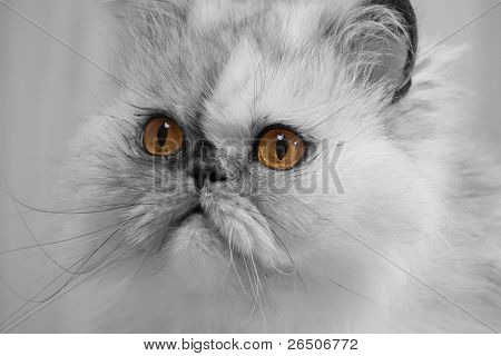 Pretty Persian Cat