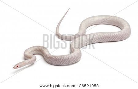 Opale Corn Snake or Red Rat Snake, Pantherophis guttatus, in front of white background