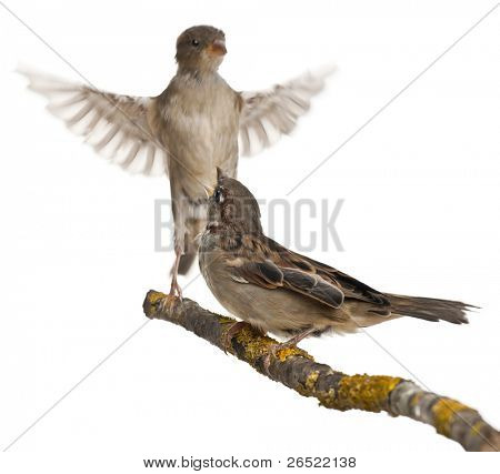 Male and Female House Sparrow, Passer domesticus, 4 months old, in flight and on a branch in front of white background