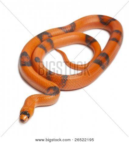 Tricolor Reverse Honduran milk snake, Lampropeltis triangulum hondurensis, in front of white background