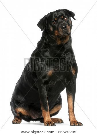 Rottweiler, 3 years old, sitting in front of white background