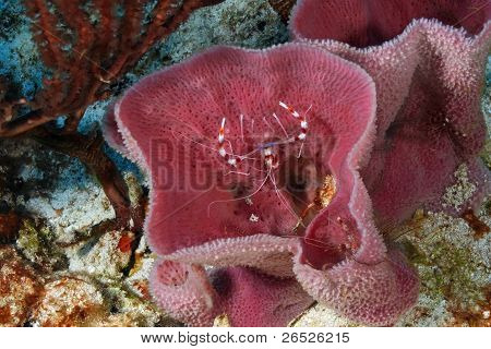 Banded Coral Shrimp Hiding in a Sponge  - Roatan