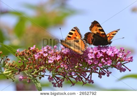 Two Butterflys On Lilac