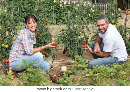 Couple picking tomatoes