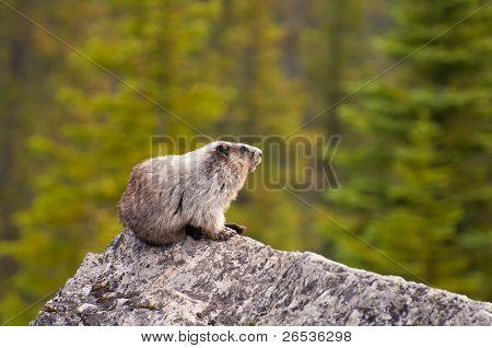 Hoary Marmot On Rock