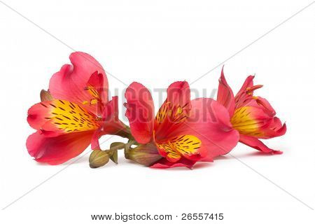 Alstroemeria flower isolated on white