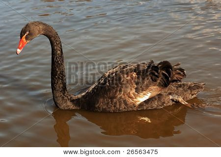 Black swan (Cygnus atratus) in a lake