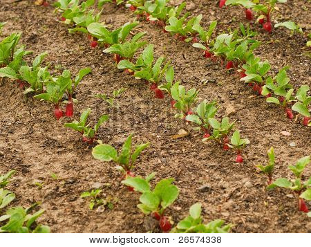 Red radish growing out of soil