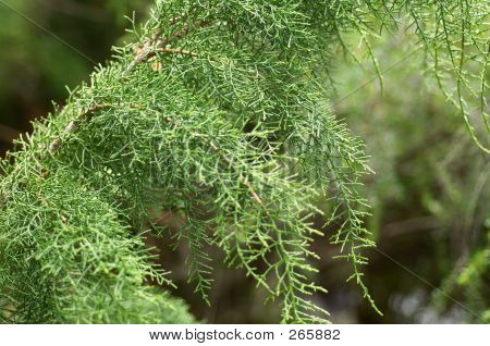 Close Up Detail Of Huon Pine (lagarostrobos Franklinii)