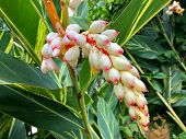 Wet white flower of Shell Ginger, also called Pink porcelain lily, Variegated ginger, Butterfly ging poster