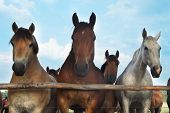 stock photo of troika  - Three horses and herd on a meadow