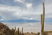 stock photo of peyote  - Cardon cactus at Isla de Pescador bolivia - JPG