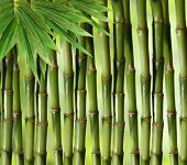 picture of bamboo forest  - Bamboo green plant stems background with slight inward perspective over black - JPG