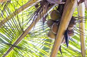 Under The Coconut Tree Branch Full Of Fruits poster
