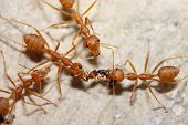 Red Ant On Cement Floor Attack Ants Smaller. poster