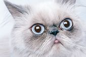 Funny Persian Cat With Grumpy Muzzle Expression poster