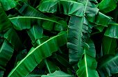 Banana Green Leaves Texture Background. Banana Leaf In Tropical Forest. Green Leaves With Beautiful  poster