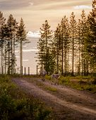 Two Young Reindeers Walking On A Forest Road, Other One Turning Around To Look Back, Suomussalmi Fin poster
