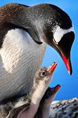Penguin Mother and her two Children in Antarctica