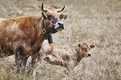 Cow With His Calf In The Countryside. Cattle, Livestock. Mammal poster