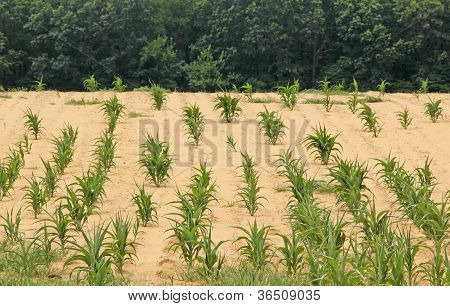 Drought Stricken Cornfield