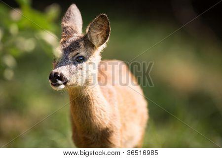Young Roebuck (capreolus capreolus)