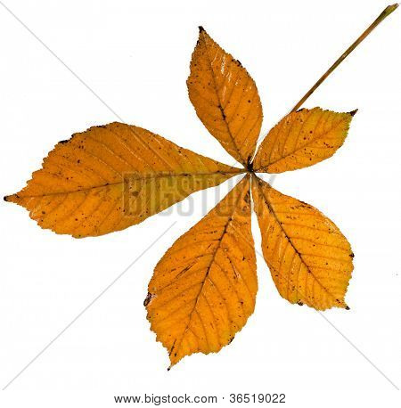 Leaf of chestnut tree (Aesculus hippocastanum) on a white background