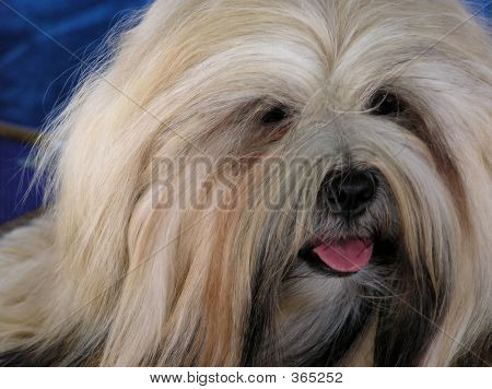 Long Haired Dog