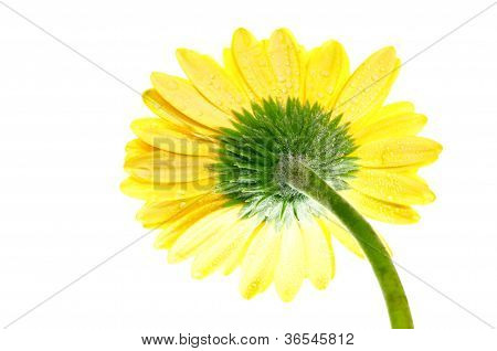 One Yellow Gerbera Flower Extreme Close Up Back View