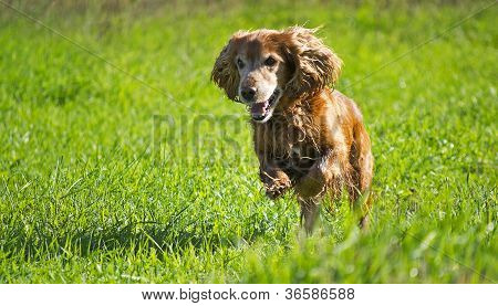 Young Cocker Spaniel On A Green Lawn