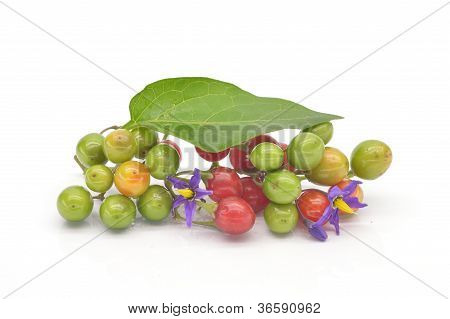 Coloured berry nightshade