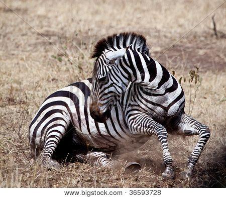 Struggling Zebra