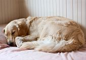 Dog sleeping on the bed - golden retriever