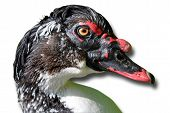 picture of barbary duck  - Portrait of a muscovy duck isolated against a white background - JPG