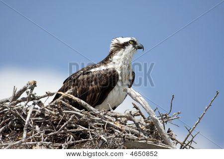 Osprey On A Nest