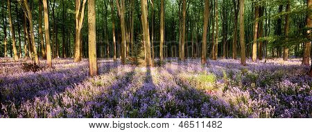 Bluebells In Shadows