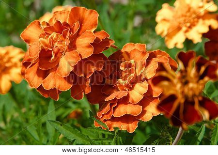 Tagetes Orange Flowers