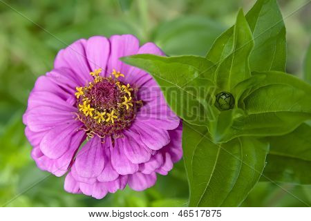Flower In The Garden - Zinnia