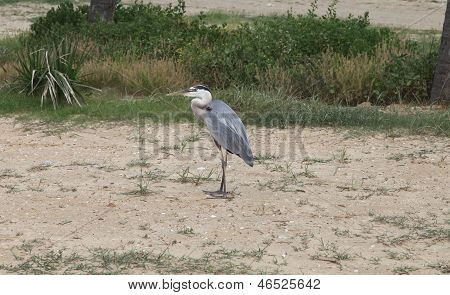 Large Blue Heron