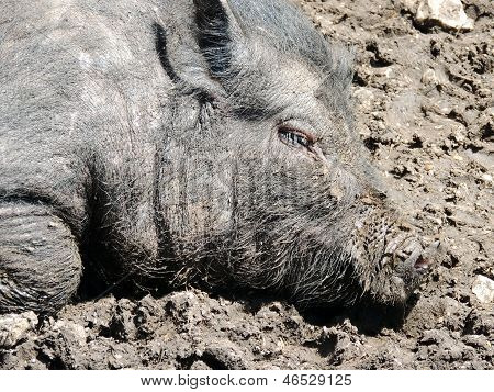 Young Vietnamese Pot-bellied Pig