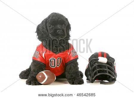 sports hound - american cocker spaniel puppy wearing football uniform isolated on white background