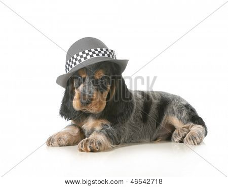 cute puppy - english cocker spaniel puppy wearing hat isolated on white background - 7 weeks old