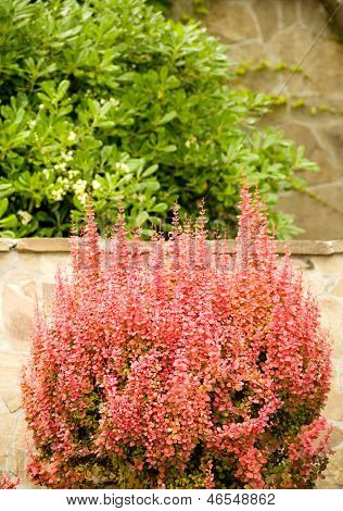 Pink flowers on the background of the stone wall and the green shrubbery