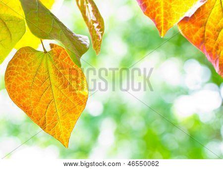 Leaves Of Redbud Tree