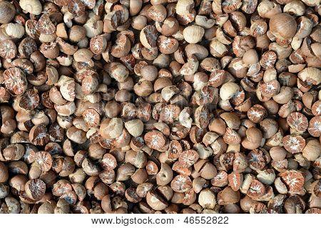 Dried Beetle Nuts